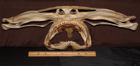 Great hammerhead skull