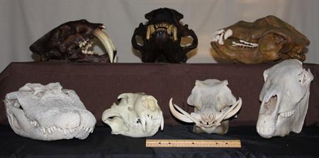 Large animal skulls
