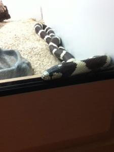 Blackmore the California King Snake