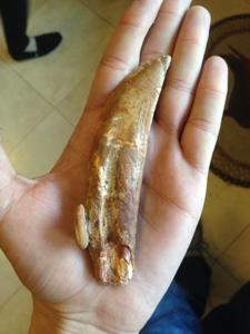 Carcharodontosaur Tooth