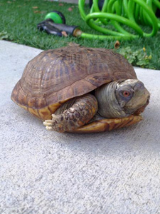 Cozy the box turtle